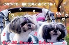 sakura_himeri-122220-min.JPG